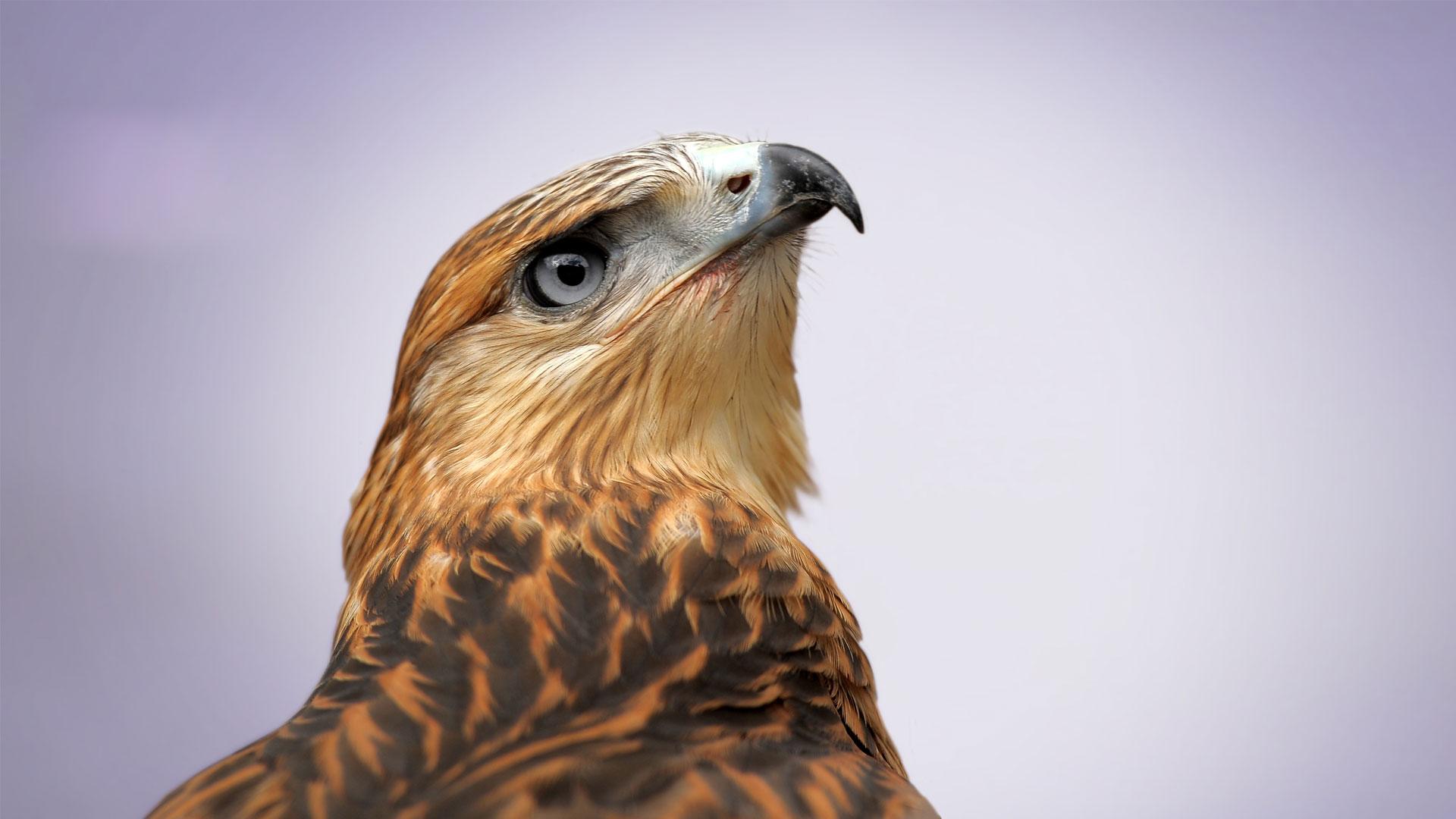 matterhorn branding birds of prey